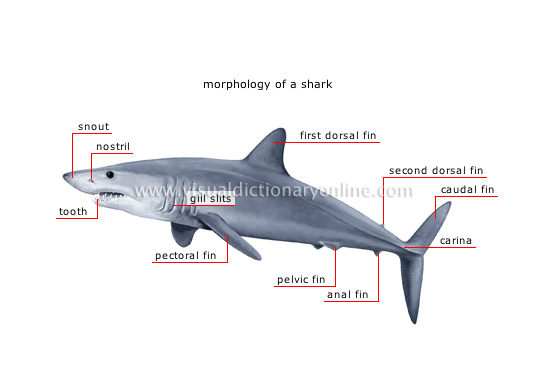 46298 as well Dorsum Tongue further Mesh info likewise Cartilaginous Fish besides Elysia Clarki. on dorsal and ventral anatomy of plants