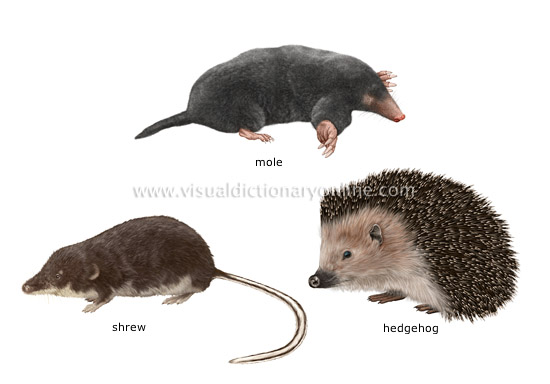 examples of insectivorous mammals