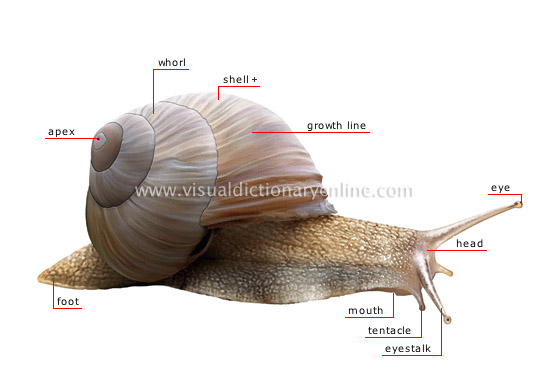 ANIMAL KINGDOM :: MOLLUSKS :: SNAIL :: MORPHOLOGY OF A ...