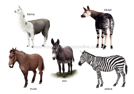N Ungulate ANIMAL KINGDOM ...