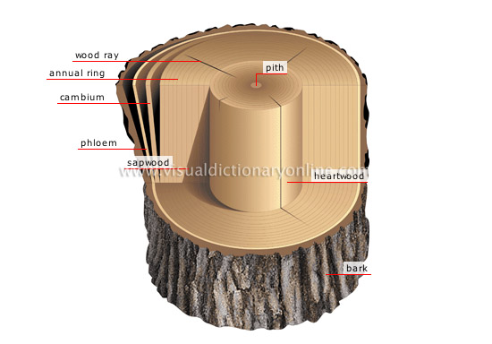cross section of a trunk