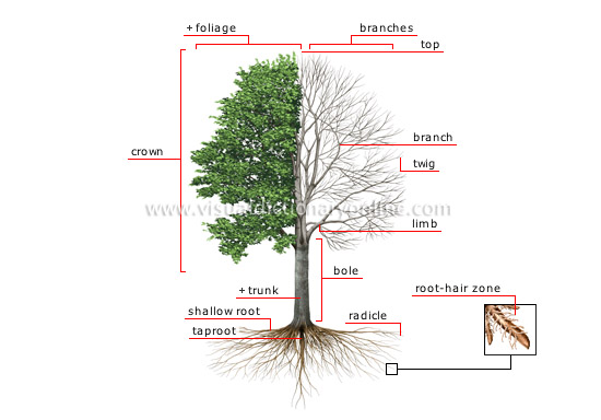 plants gardening plants tree structure of a. Black Bedroom Furniture Sets. Home Design Ideas